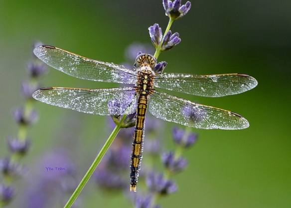 Dragonfly and lavender